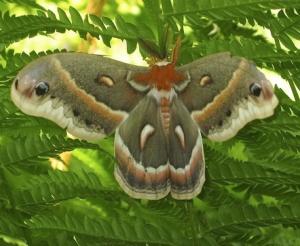 Cecropia silkmoth (<i>Hyalophora cecropia</i>), a relative of the giant luna moth.