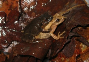 Spring peepers (<i>Pseudacris crucifer</i>) in amplexus.  The male is the darker frog on top; he will hold on to the female until she deposits her eggs under the vegetation in a small pond or marsh.