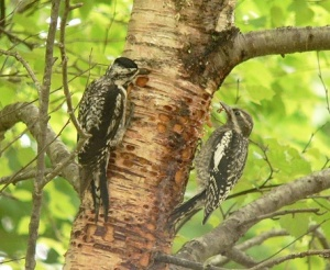 Yellow-bellied sapsucker (<i>Sphyrapicus varius</i>) female and juvenile at a sap lick.